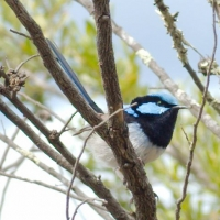 Superb Fairy-wren (M)