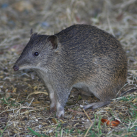 Southern Brown Bandicoot