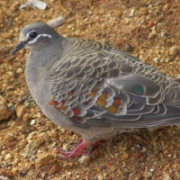 Common Bronzewing Pigeon (f)