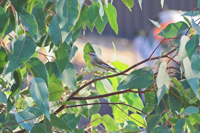 Striated Pardalote (m)