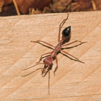 Darling Great Bull Ant