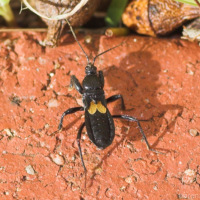 Assassin Bug nymph*