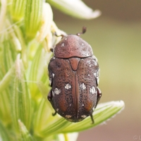 Brown Flower Beetle