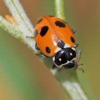 Spotted Amber Ladybird