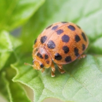 28 Spotted Potato Ladybird