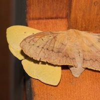 Southern Snouted Gum Moth