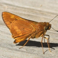 Orange Palm Dart