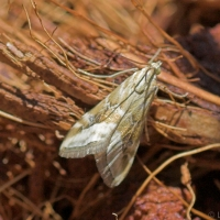 Cabbage Centre Grub Moth