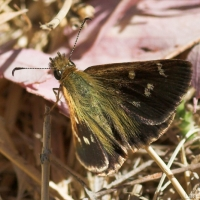 Wedge Grass-Skipper