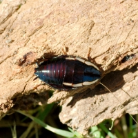 Gisbourne Cockroach