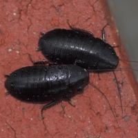 Bush Cockroaches