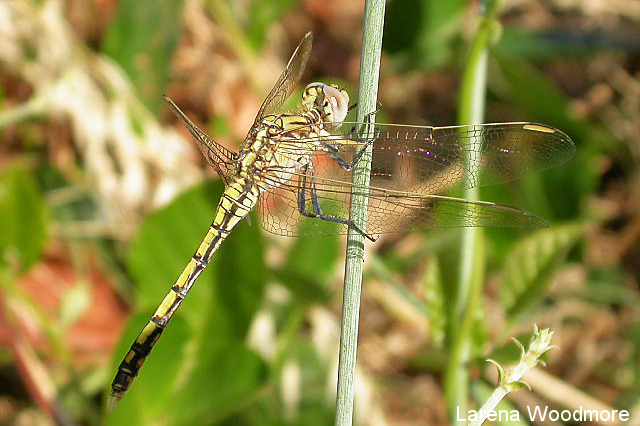 Common Percher Dragonfly