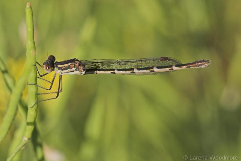 Female Blue Ringtail Damselfly