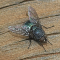 Bluebodied Blowfly