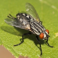 Great Red-eyed Flesh Fly