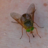 March Fly AKA Horse Fly