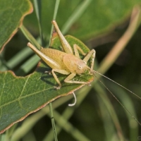 Cricket - male