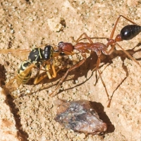 Bull Ant carrying a wasp