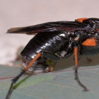"Steelblue Sawfly ""sawing"""