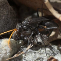 Spider wasp with spider
