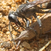 Digger wasp story part 1