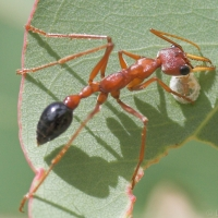 Bull Ant investigating a lerp