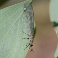 Lacewings and Antlions