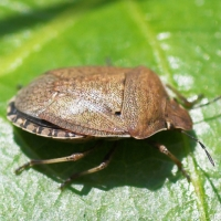 Brown Shield Bug