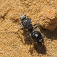 Greater Black Velvet Ant