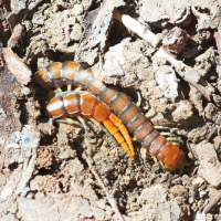 Common Banded Centipede