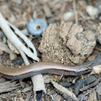 Southwestern Earless Skink