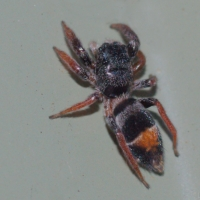 Orange-Banded Ant Jumping Spider