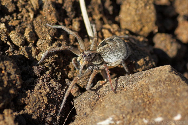 Godeffroys Wolf Spider - male