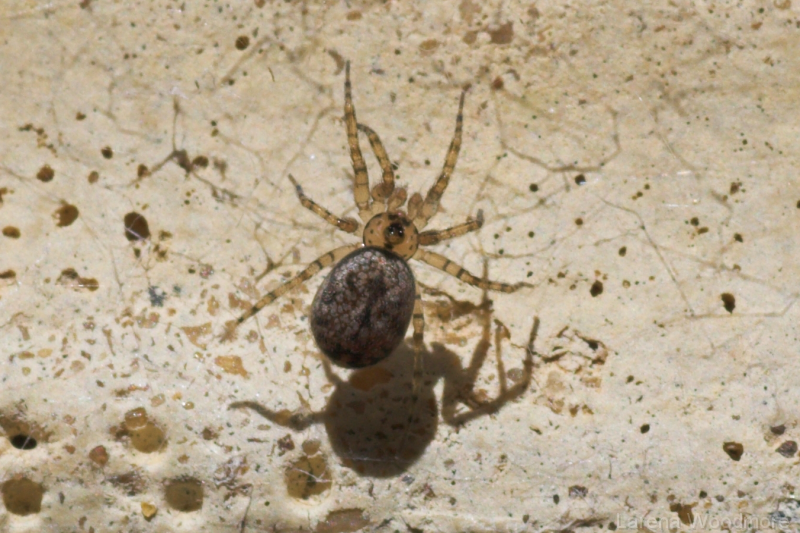 Urban Wall Spider