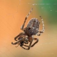 Orb-weaving spider